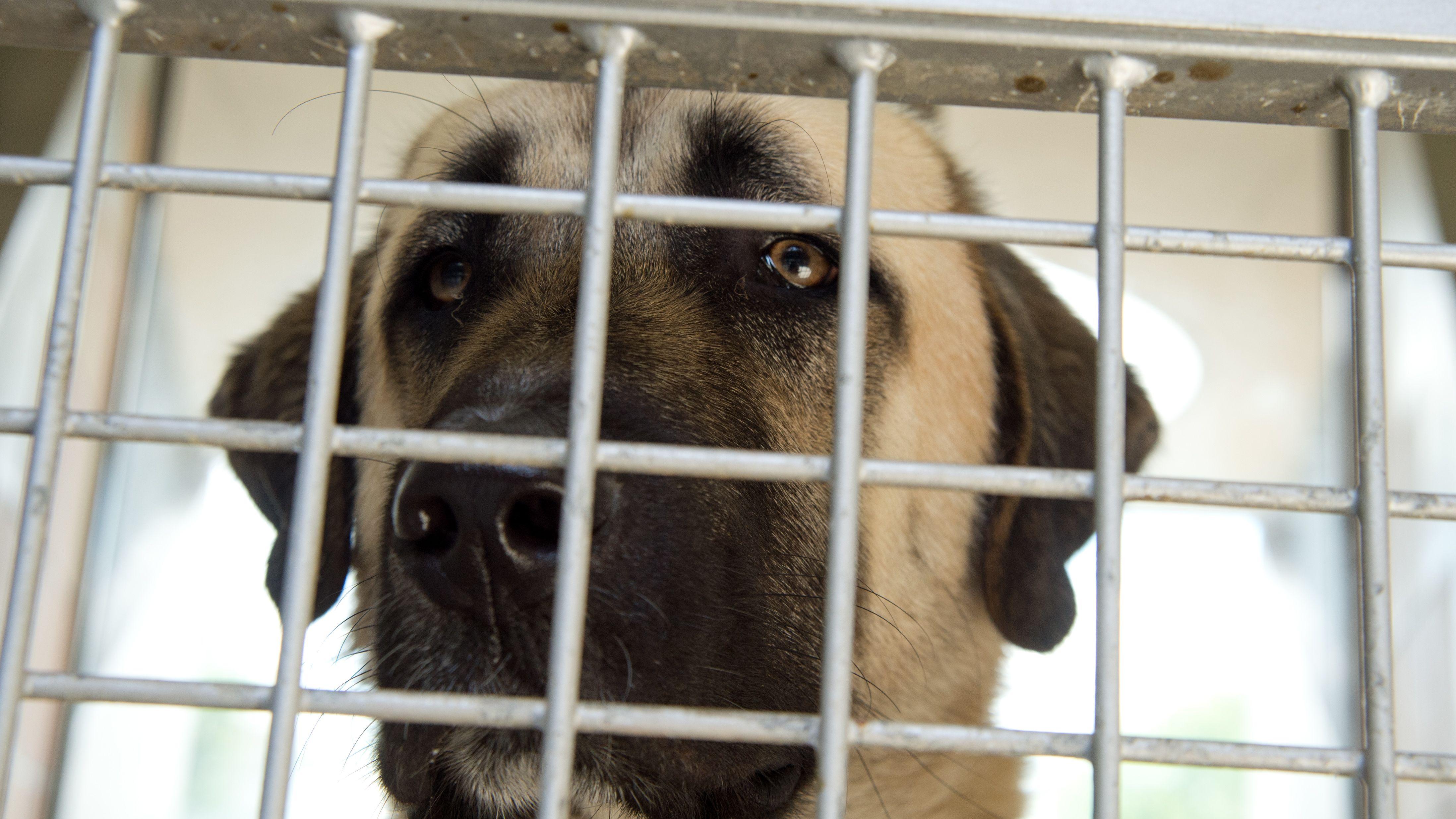 Der Mann soll in Tschechien sogenannte Kangal-Hirtenhunde gezüchtet haben. (Symbolbild). Ihm wird Tierquälerei vorgeworfen