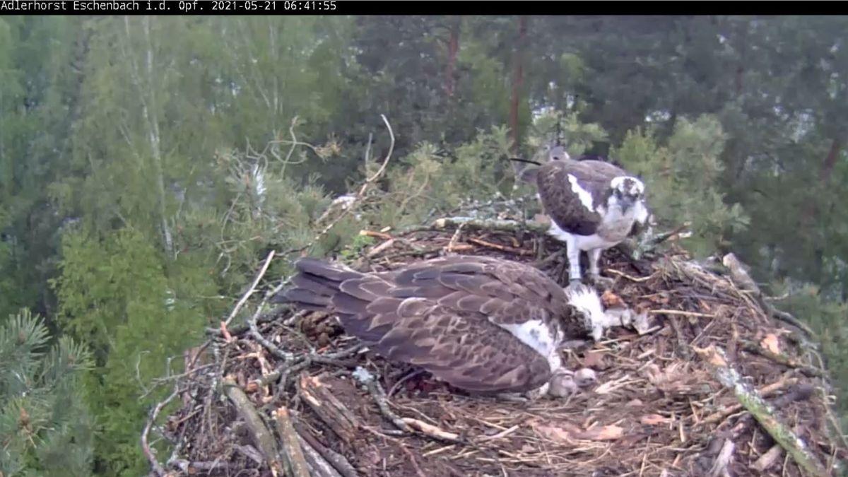 Zwei Fischadler sitzen in einem Nest, es ist auch ein Küken zu sehen.