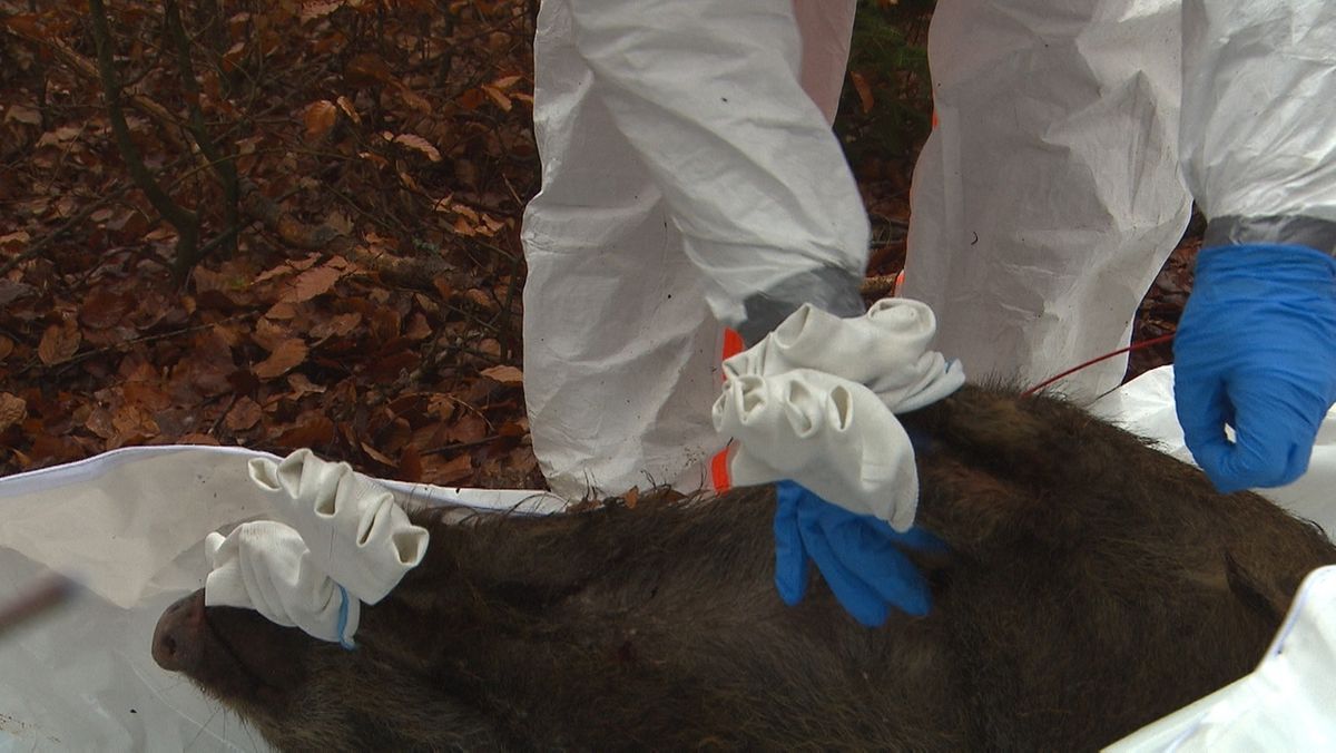 Training zum Schutz vor Afrikanischer Schweinepest