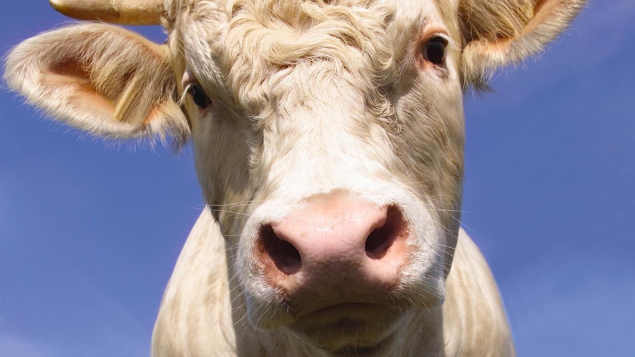 Junger Stier (Symbolbild)