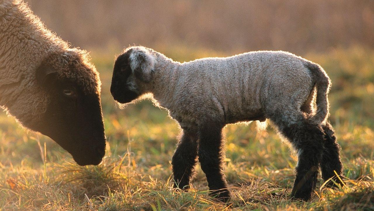 Schafe, Lamm mit Muttertier