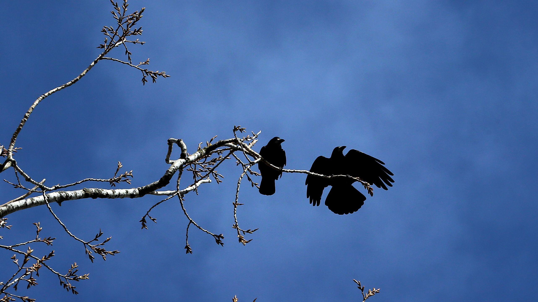 Krähen sitzen auf einem Baum (Symbolbild)