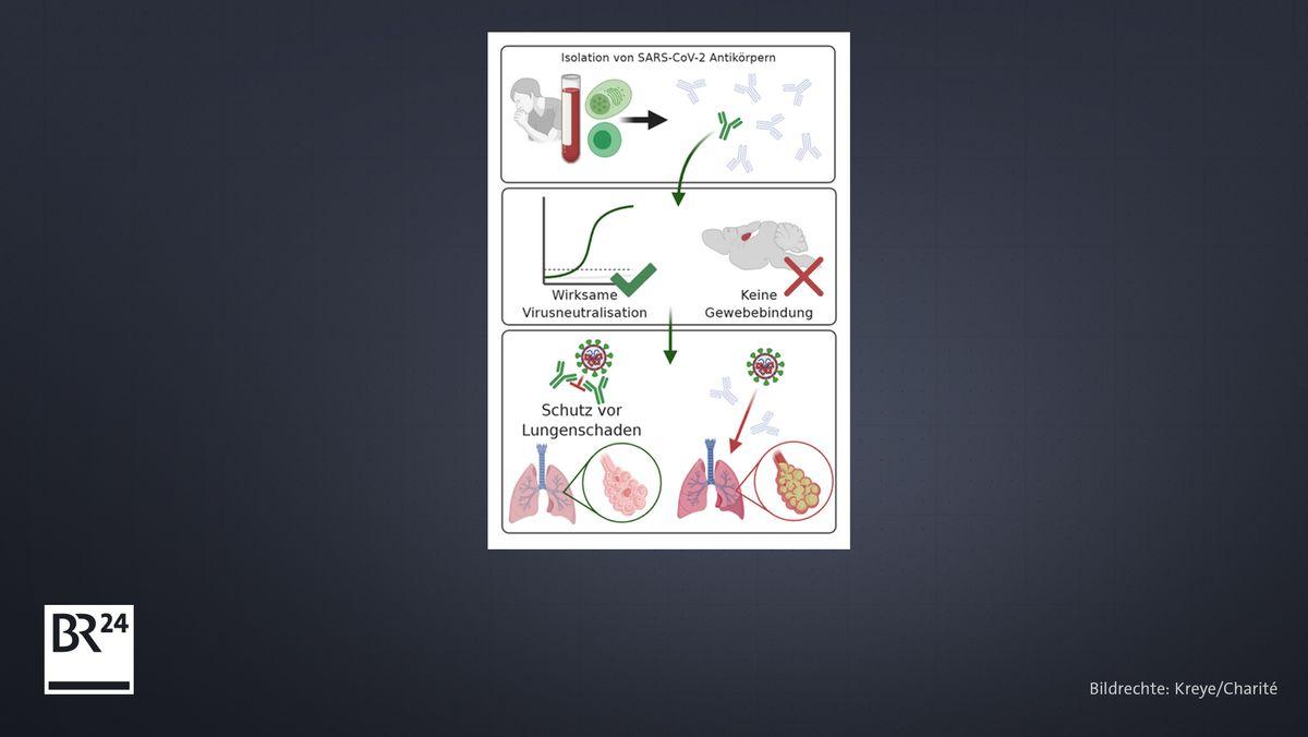 Die passive Immunisierung oder passive Impfung mit Antikörpern von Genesenen kann bei der Behandlung von Covid-19 helfen.