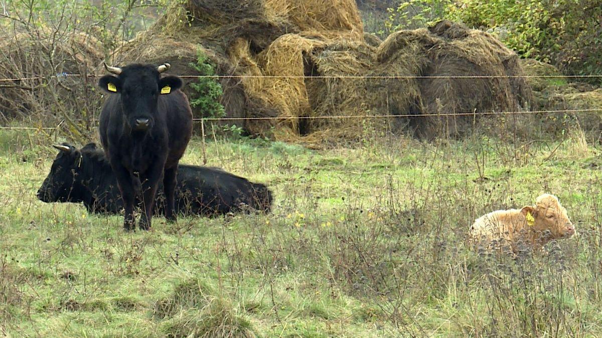 Dexter-Rinder weiden in der Nähe von Aschfeld.