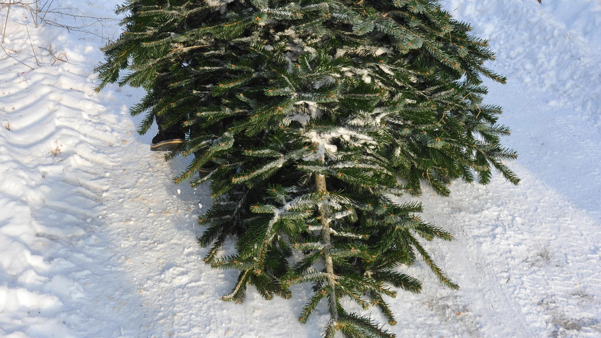 Tannenbaum auf Schneeboden