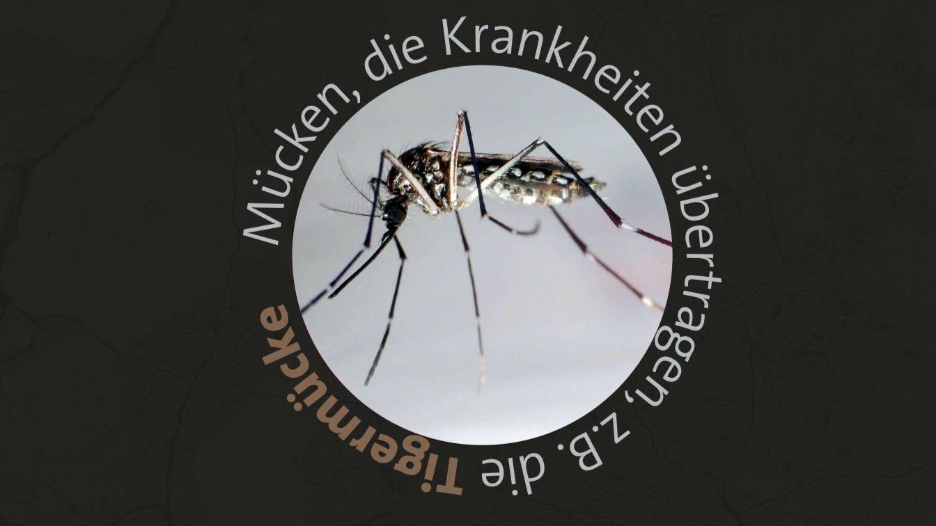 Tigermücke, die Krankheiten übertragen kann