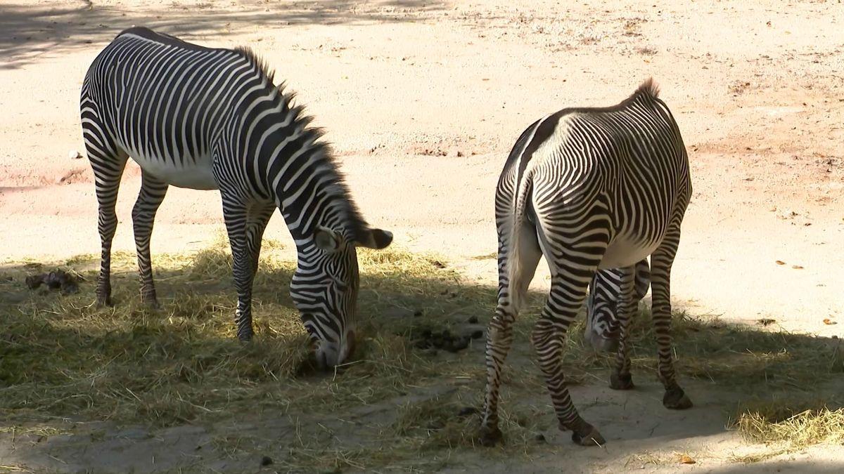 Zwei Zebras im Tiergarten Nürnberg