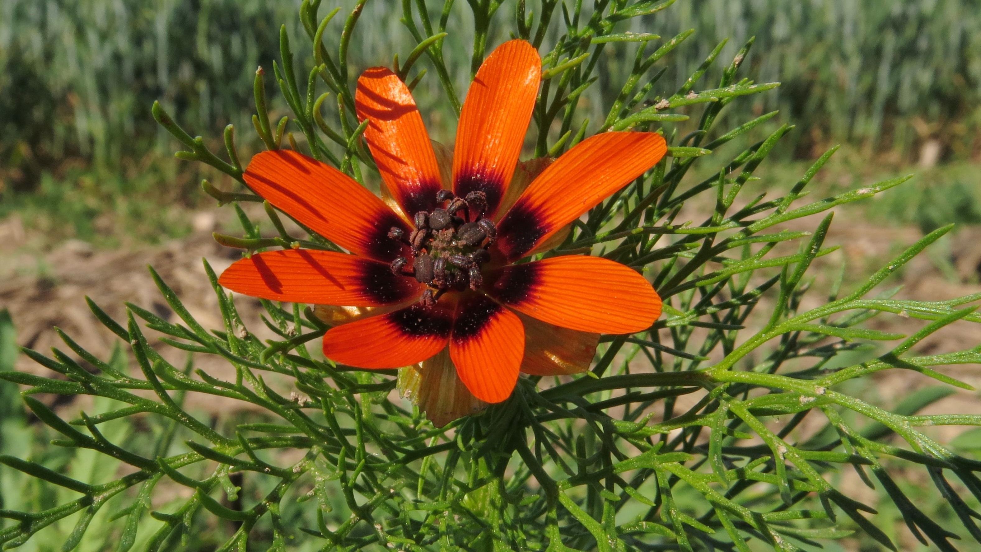 Das Sommer-Adonisröschen (Adonis aestivalis) fühlt sich auf Kalkäckern wohl. Aufgrund der Intensivierung der Landwirtschaft ist es selten geworden und laut der neuen Roten Liste der Pflanzen stark gefährdet.