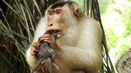 Affe frisst Ratte | Bild:Anna Holzner / Max-Planck-Institut für evolutionäre Anthropologie, Leipzig