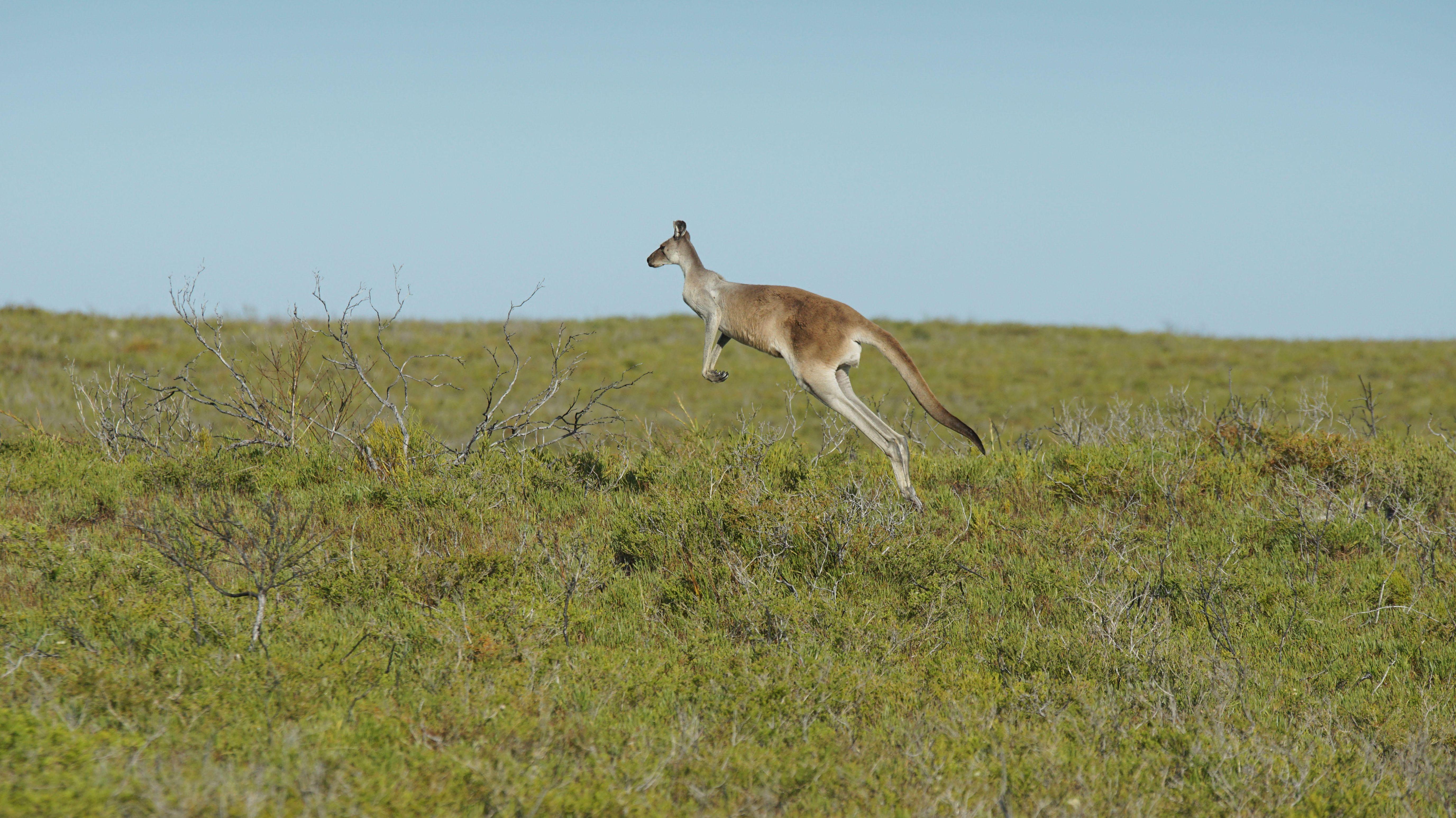 Känguru im Freiland