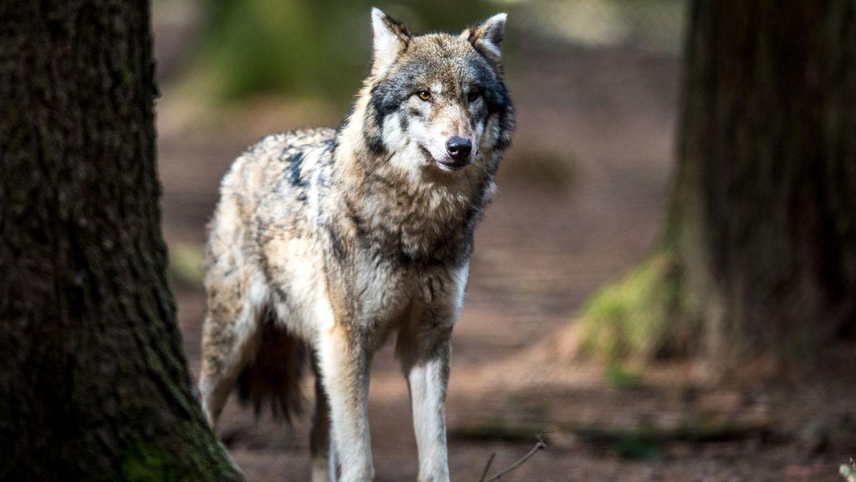 Wolf im Wald (Symbolbild)