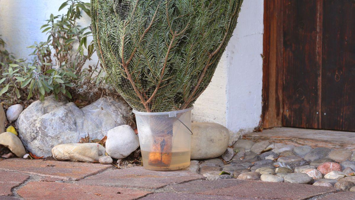 Baum steht vor der Haustür in einem Eimer Wasser.