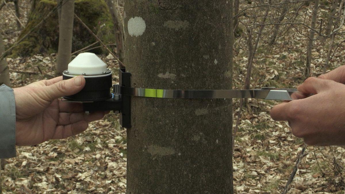 Ein Dendrometer wird im Lechauwald bei Scheuring angebracht.