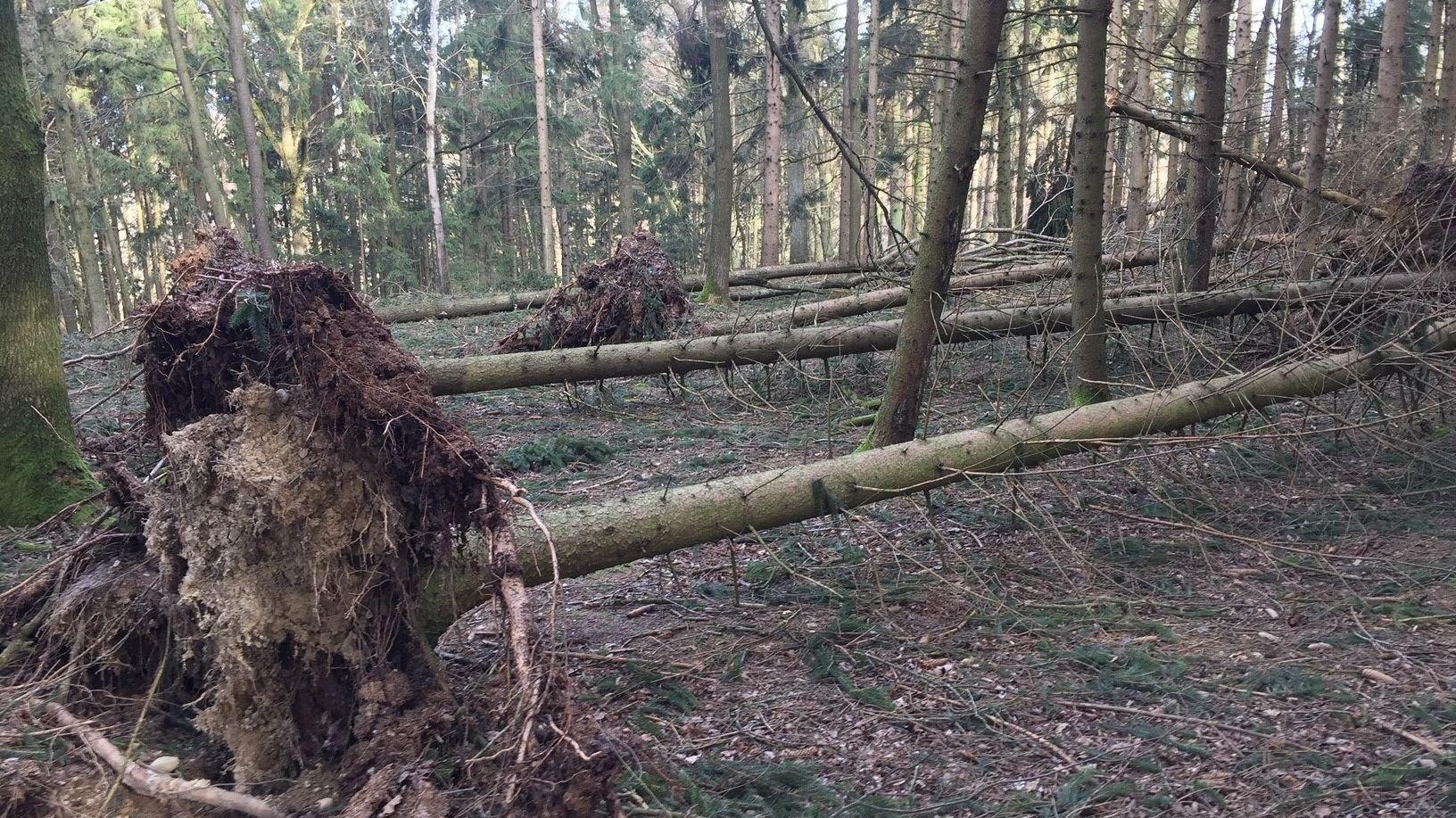 Entwurzelte Bäume liegen im Neuburger Wald nebeneinander