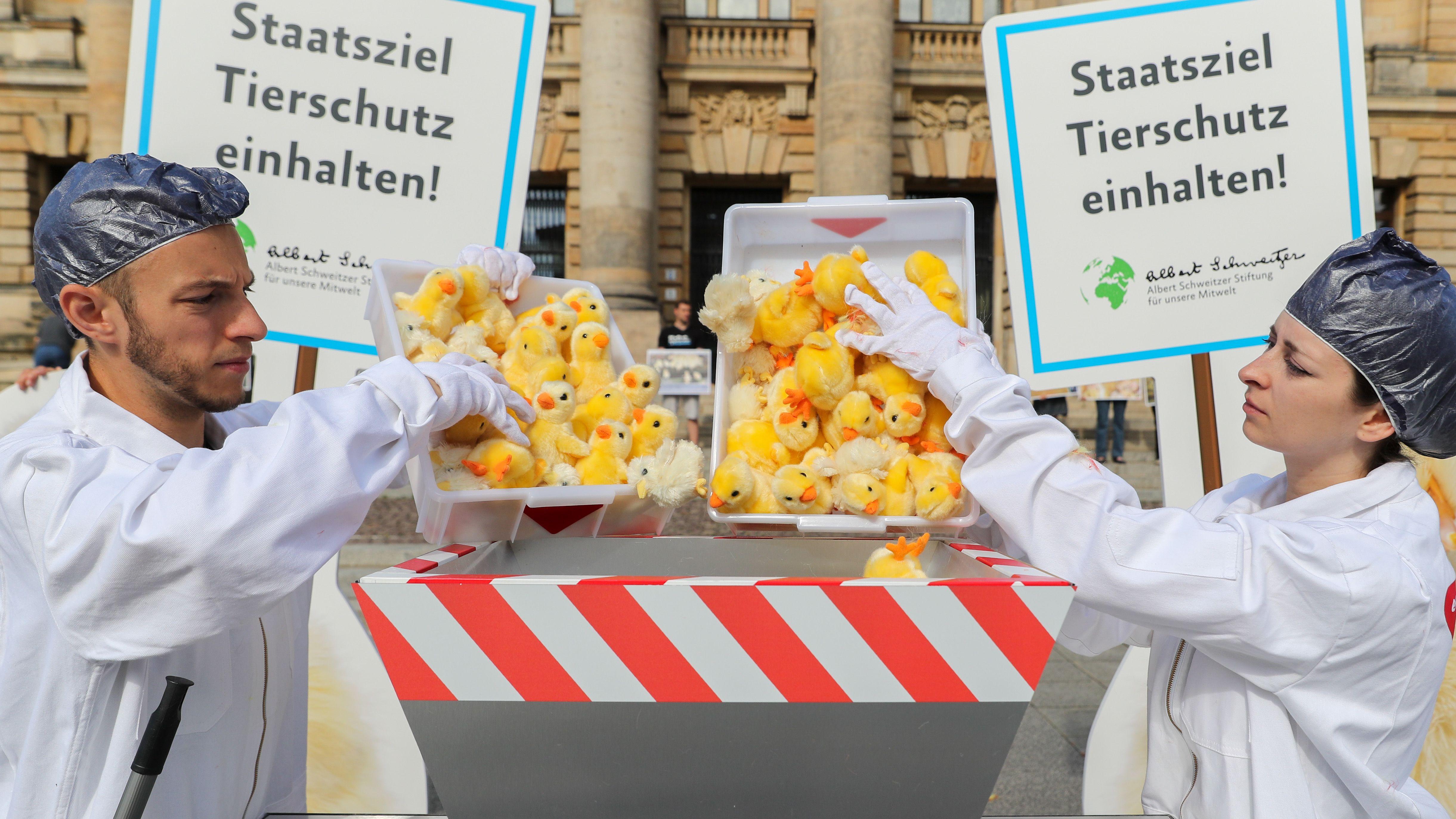 Klöckner kündigt Ausstieg aus Kükentöten bis 2021