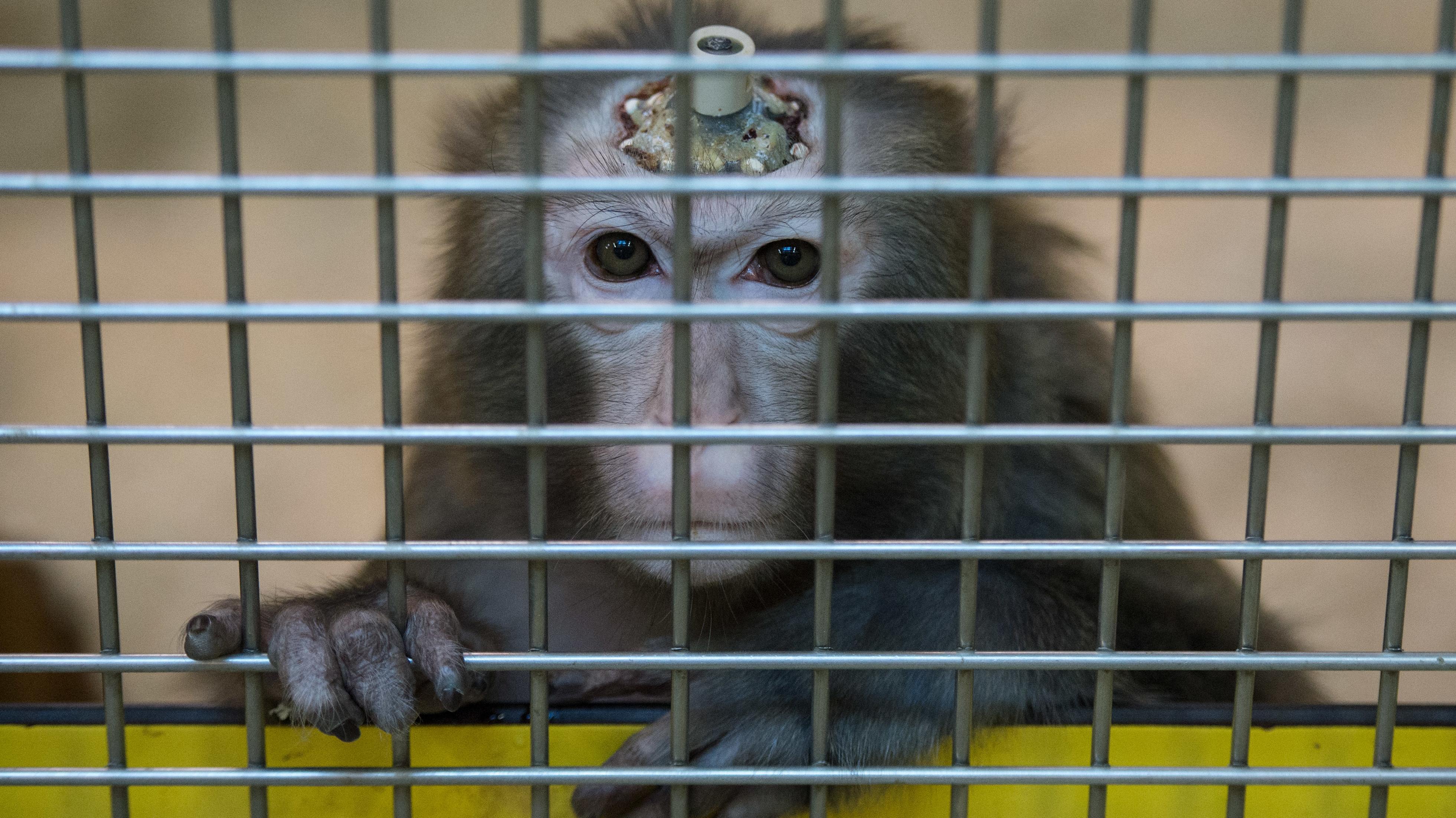 Ein Rhesus-Affe mit einem Implantat, aufgenommen am 10.03.2016 in der Tierhaltung im Max-Planck-Institut für biologische Kybernetik in Tübingen