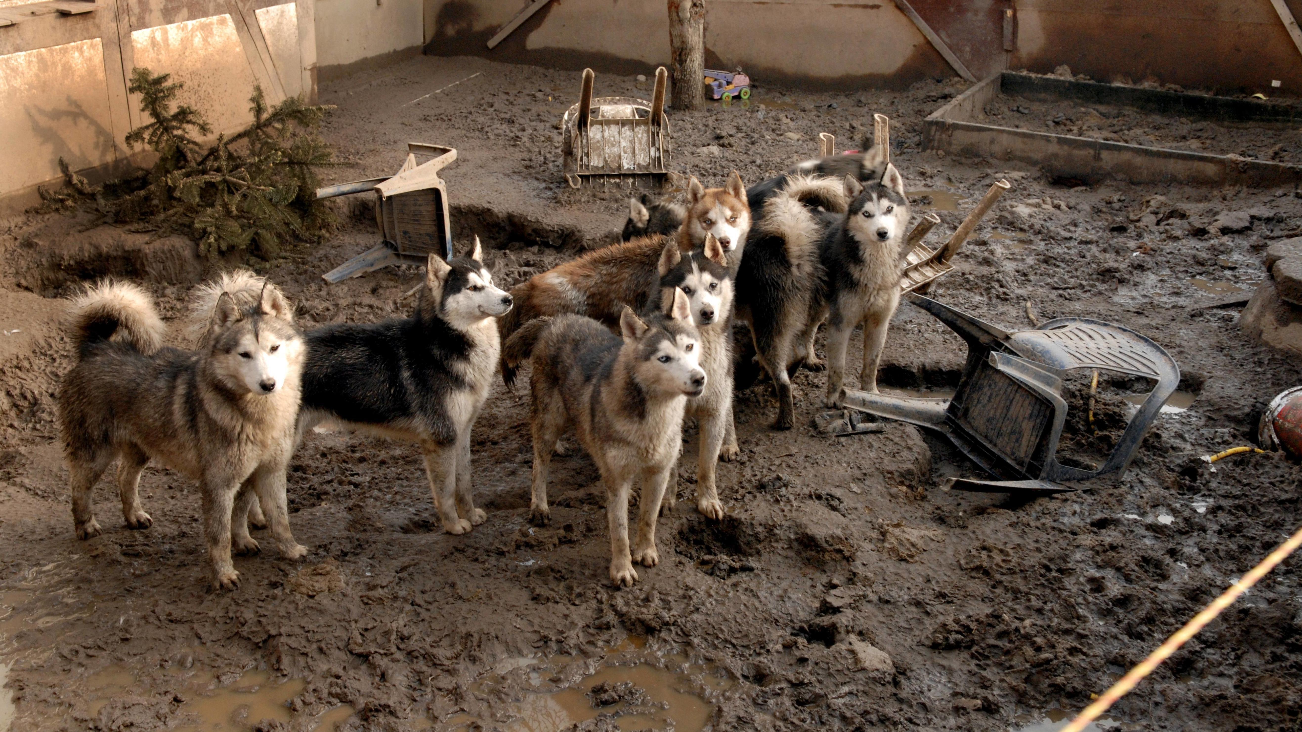 Siberian Husky (Canis lupus f. familiaris), verwahrloste Hunde stehen im Matsch