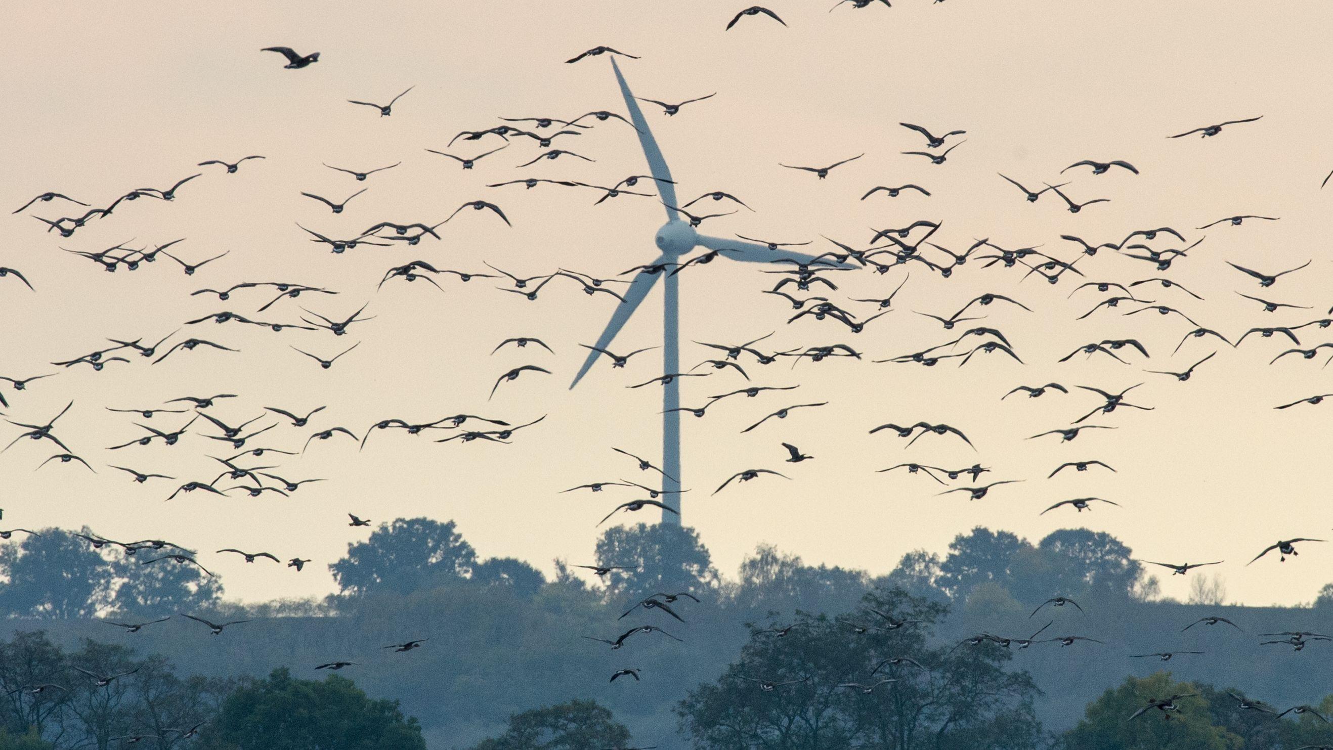 Wildgänse fliegen an einem Windrad vorbei.