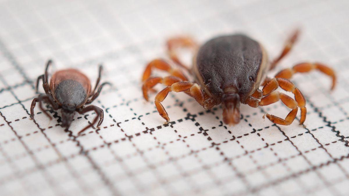 Eine Hyalomma rufipes (r) (Männchen) Zecke liegt neben einer gemeiner Holzbock-Zecke (Ixodes ricinus, Weibchen) auf einem Millimeterpapier.