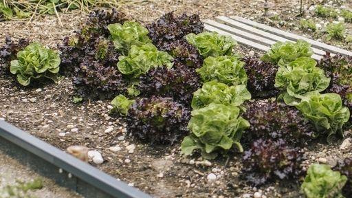 Salatköpfe (Symbolbild)