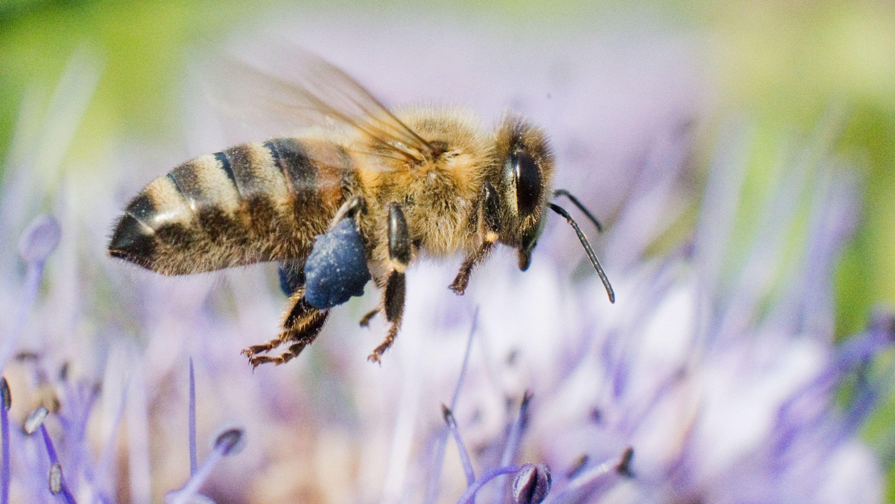 Eine Biene fliegt über eine Blüte auf einer Blumenweide.