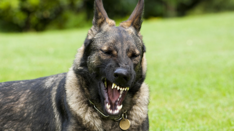 Ein dunkler Schäferhund zeigt die Zähne.