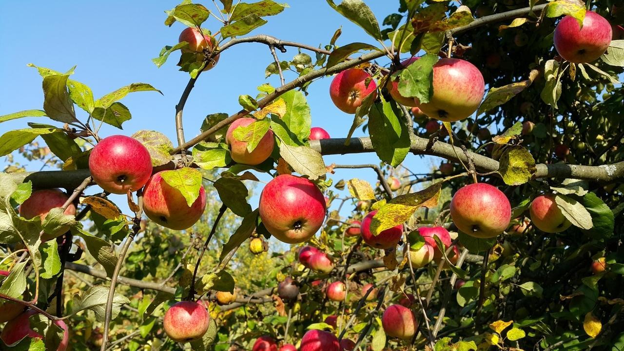 Apfelbaum voller Äpfel