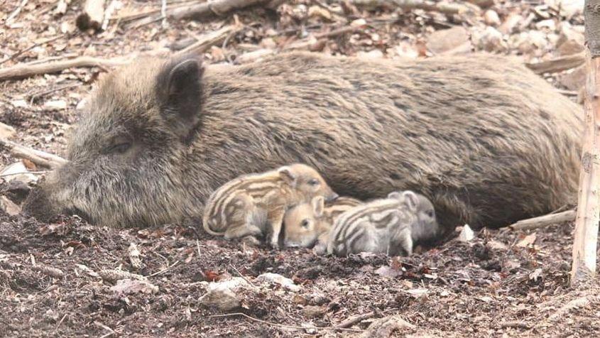 Drei kleine Frischlinge liegen bei ihrer Wildschwein-Mutter