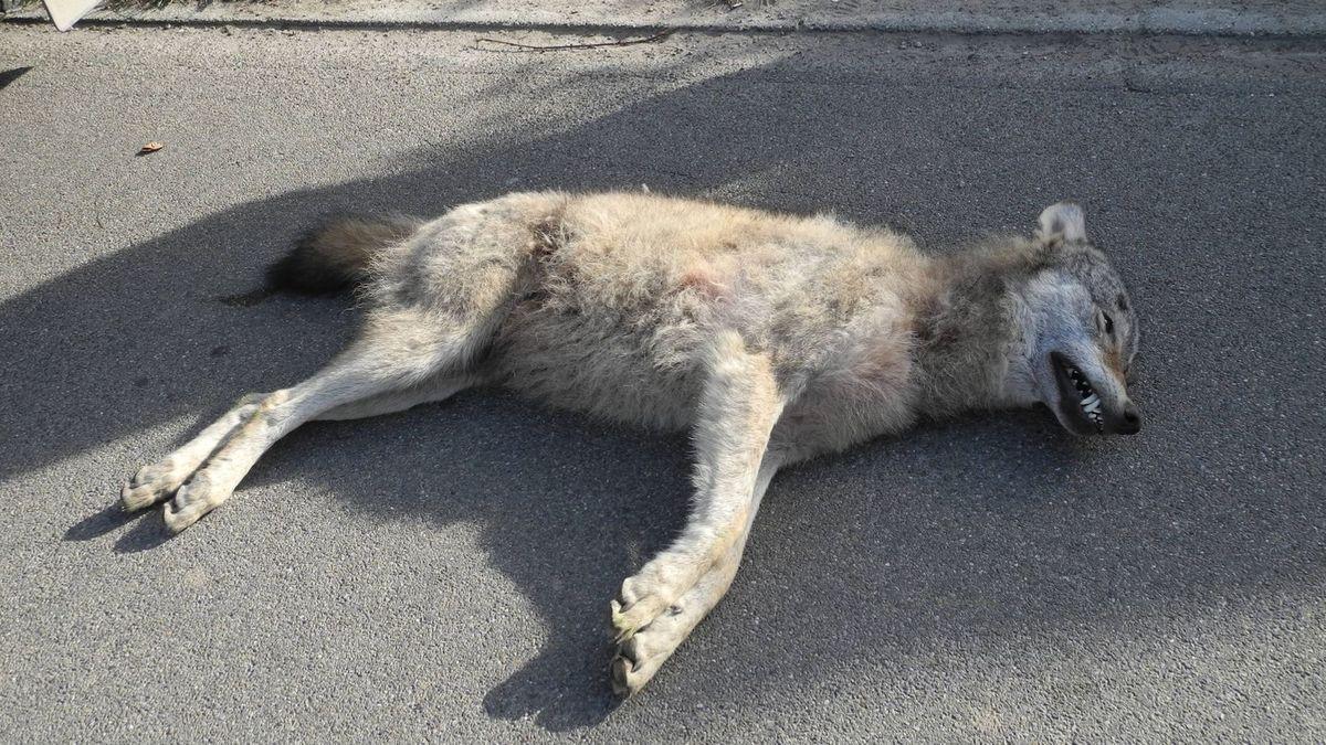 Auf einer Straße liegt der Wolf, der in Neu-Ulm überfahren worden ist
