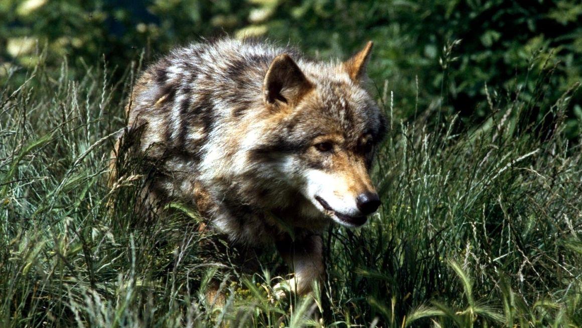 Symbolbild: Wolf im Gras