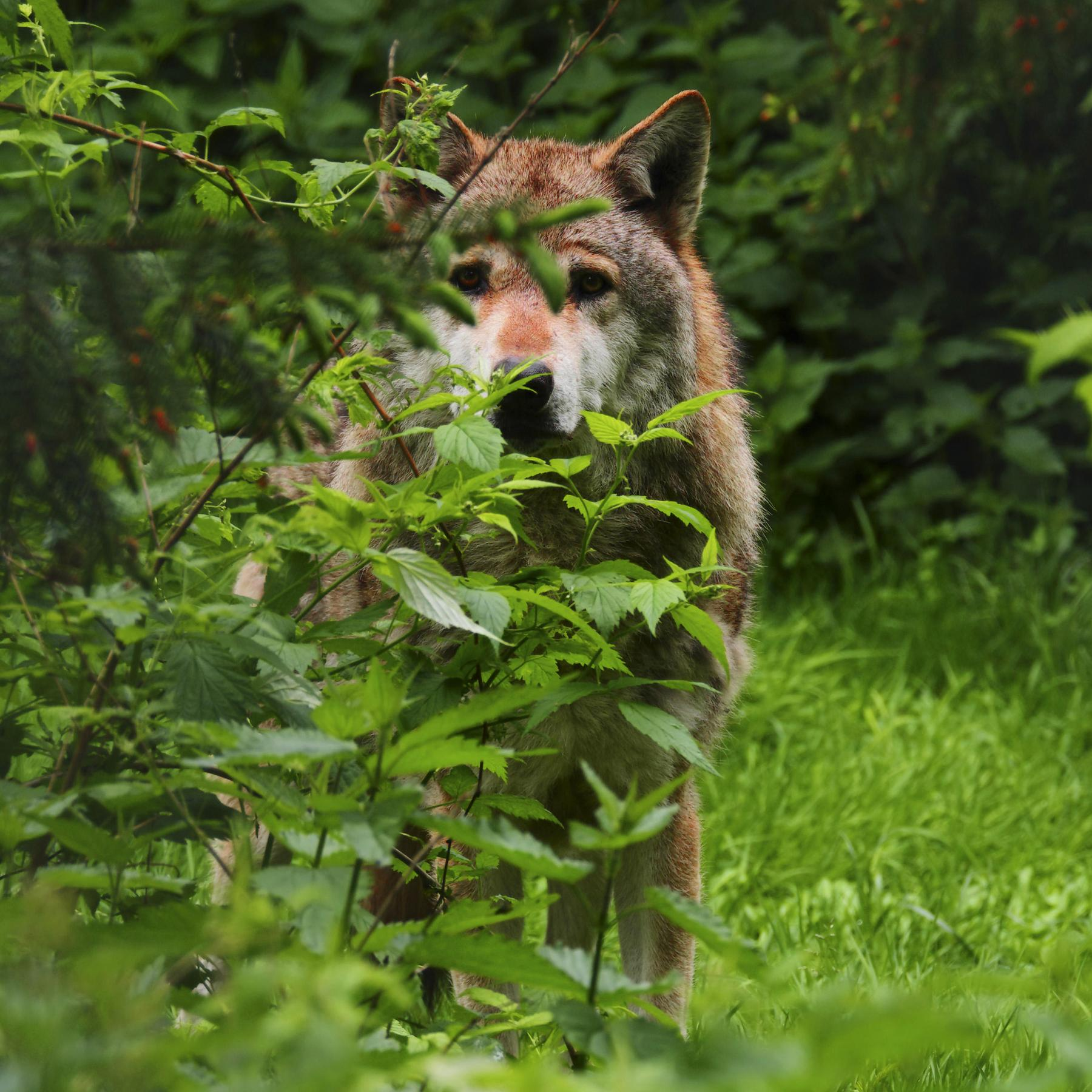 Rewilding - Das Ökokonzept mit der Wildnis