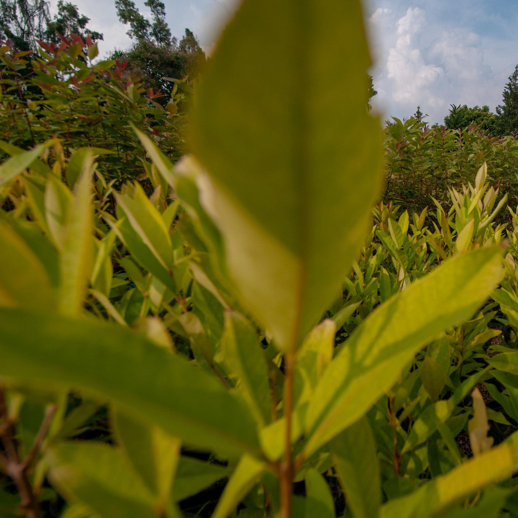 Phytomining - Metall-Ernte mit Superpflanzen