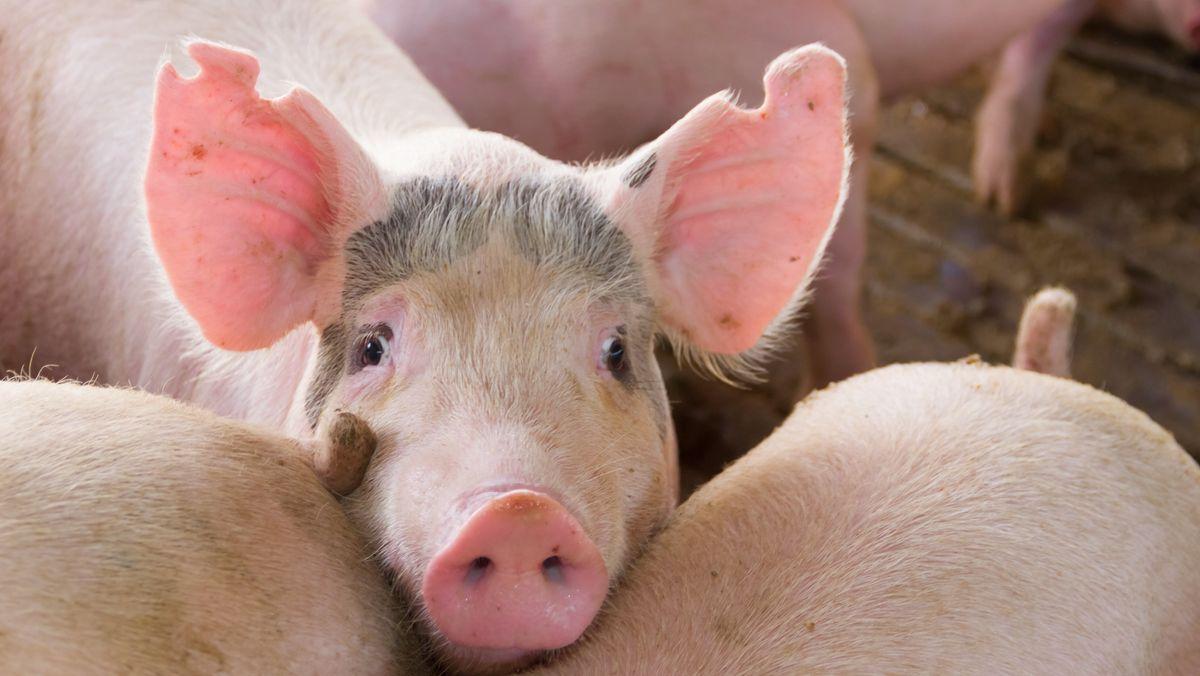 Hausschweine auf einem Bauernhof im Stall