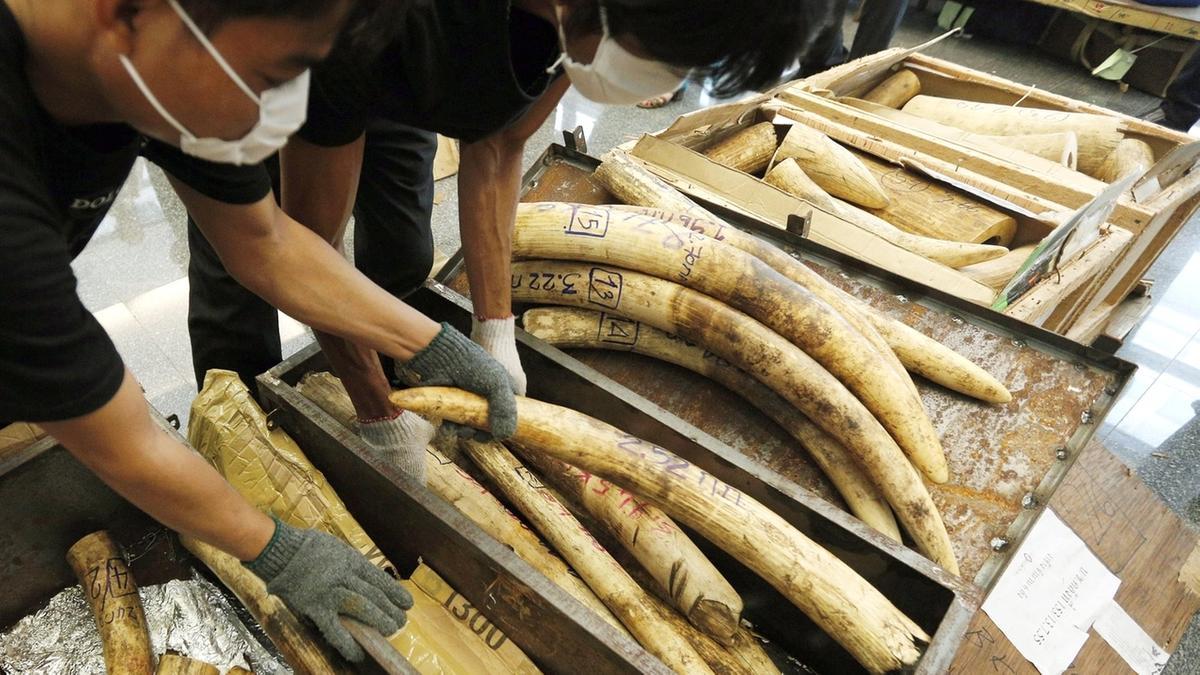 Elfenbeinschmuggel: Zollmitarbeiter präsentieren beschlagnahmtes Elfenbein in Thailand.