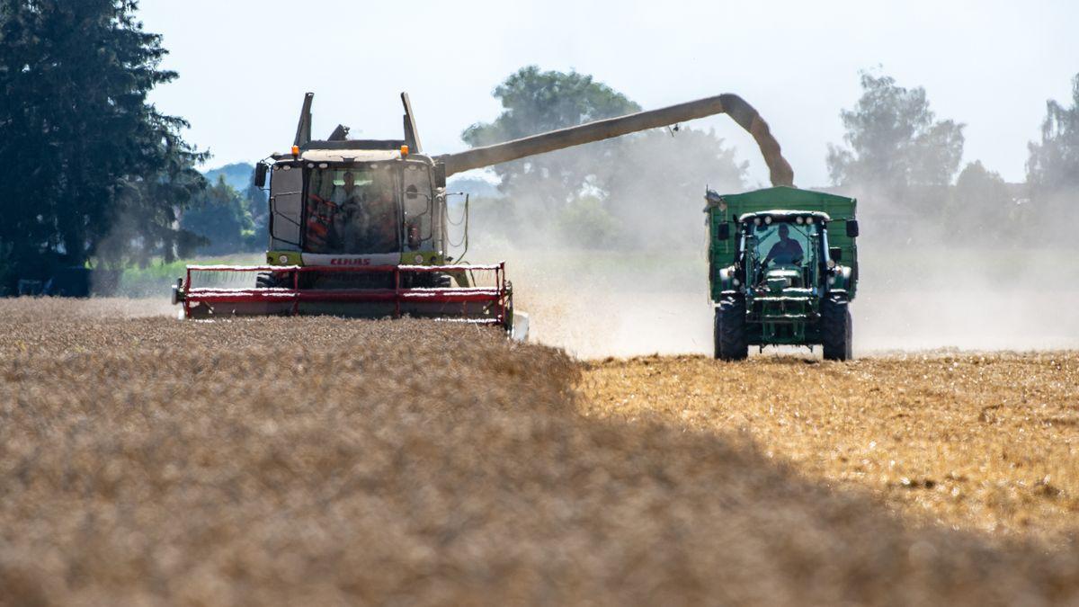Weizen wird auf einem Feld mit einem Mähdrescher abgeerntet