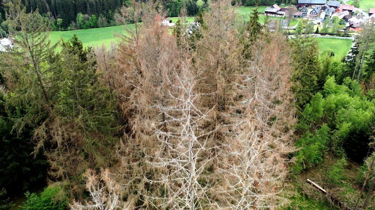 Absterbende Nadelbäume