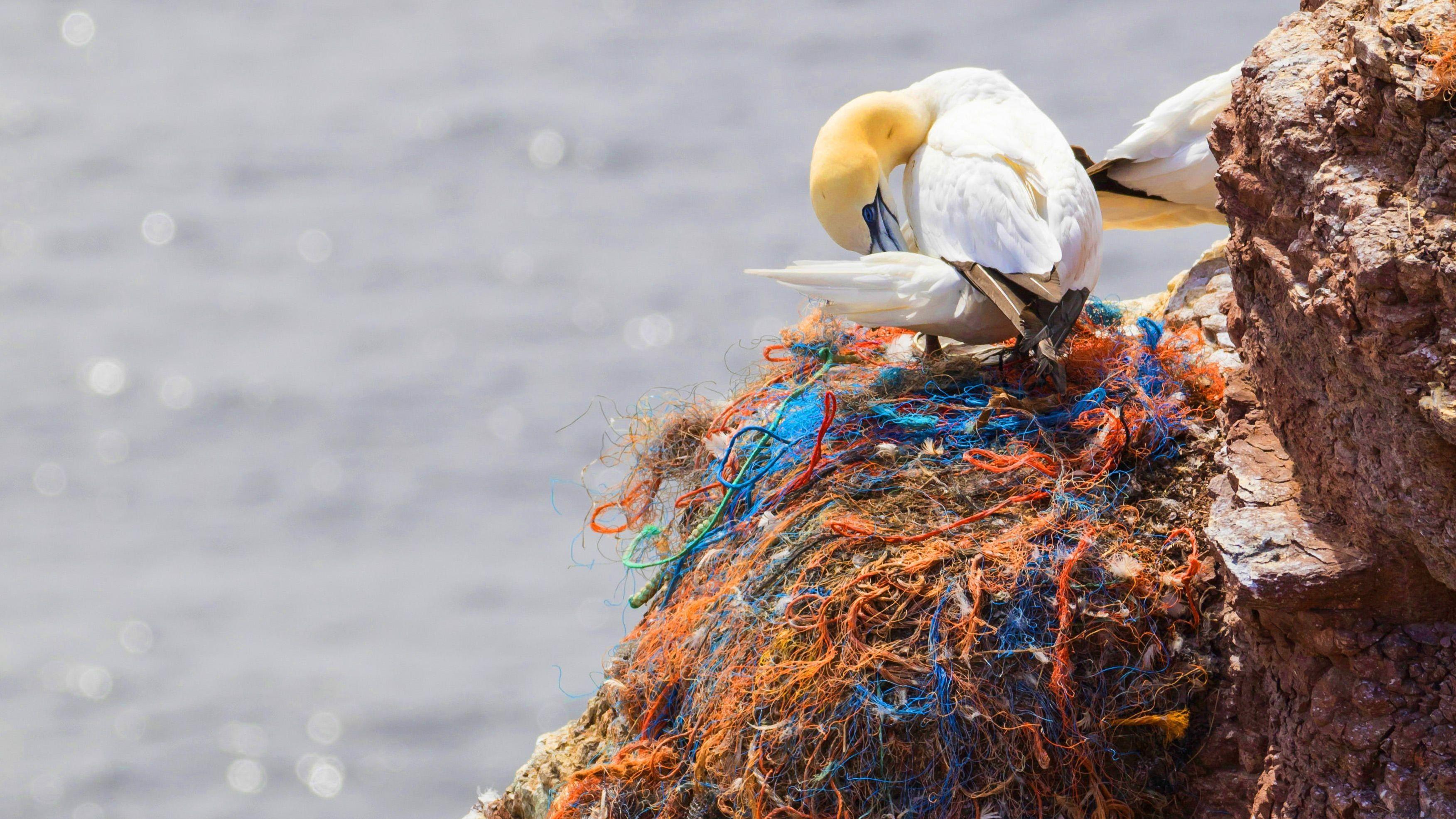Basstölpel in einem Nest voller Plastikmüll