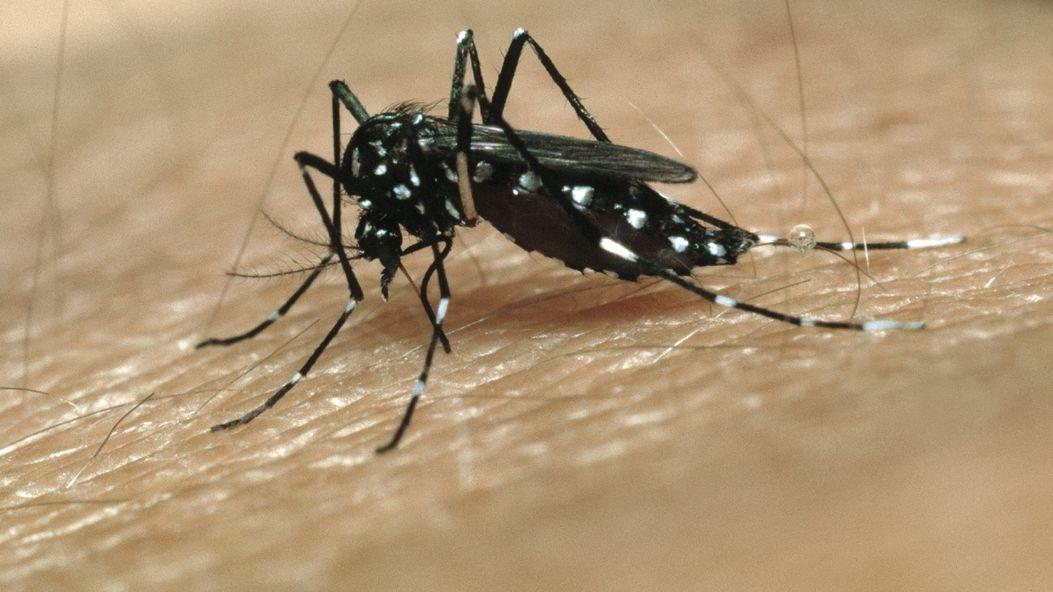 Überträger des Zika-Virus: Ägyptische Tigermücke