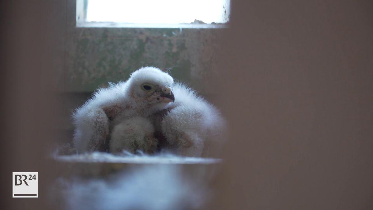 Zwei flauschige kleine Vögel sind schon geschlüpft