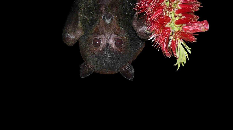 Australischer schwarzer Flughund