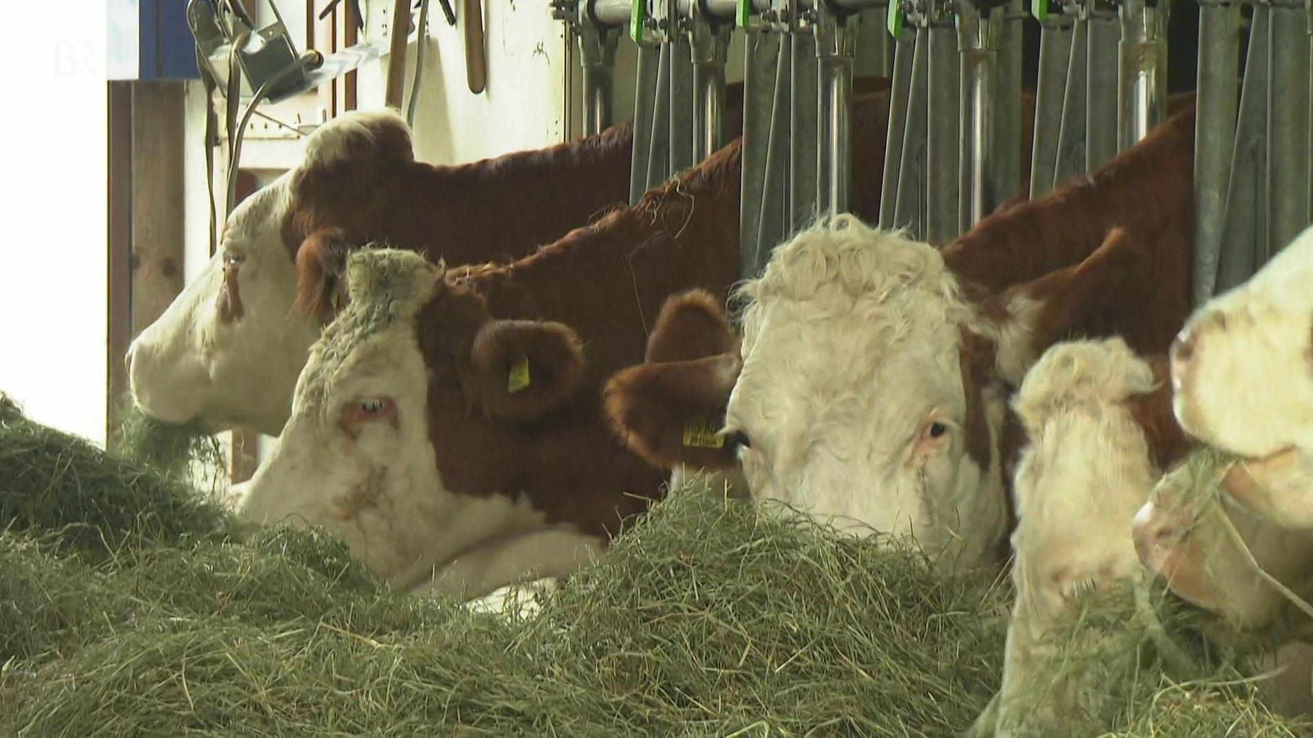 Kühe im Kuhstall