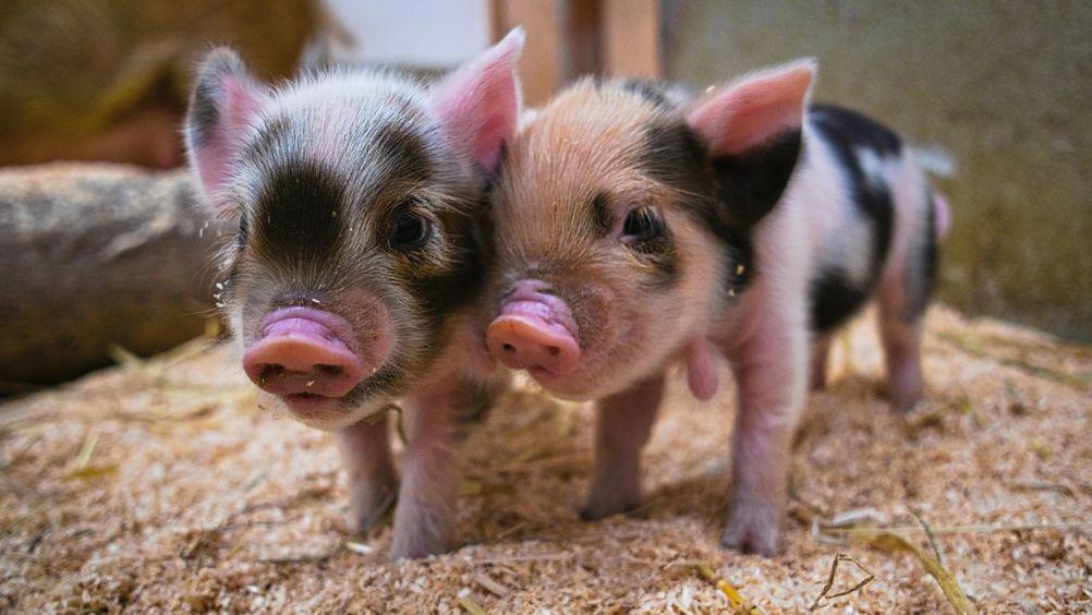 Zwei Kunekune-Schweine in ihrem Stall im Münchner Tierpark Hellabrunn