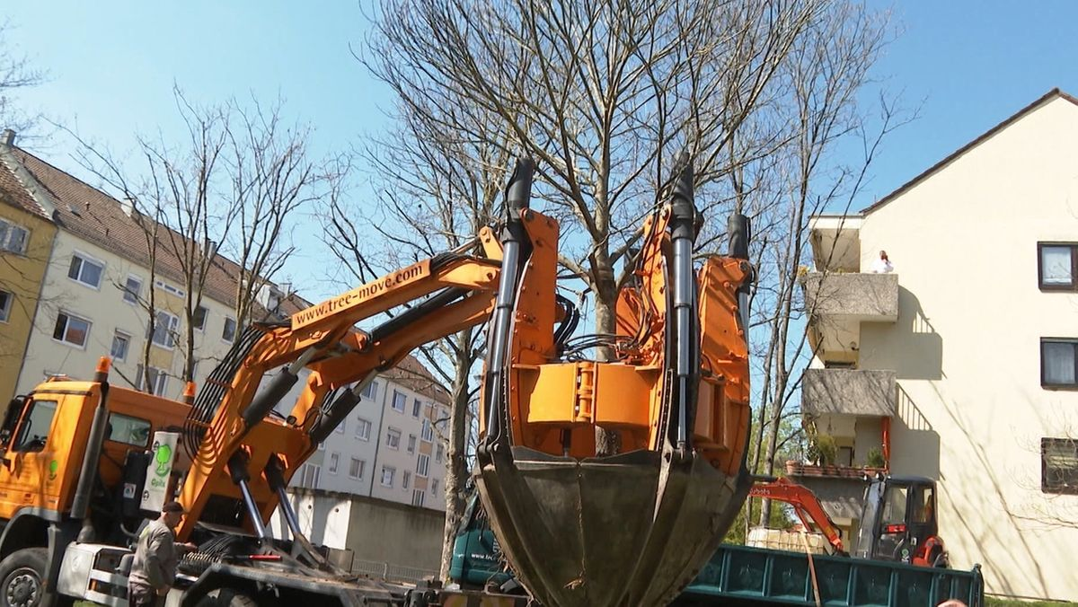 Ein ausgewachsener Baum wird on einem Lkw gehalten
