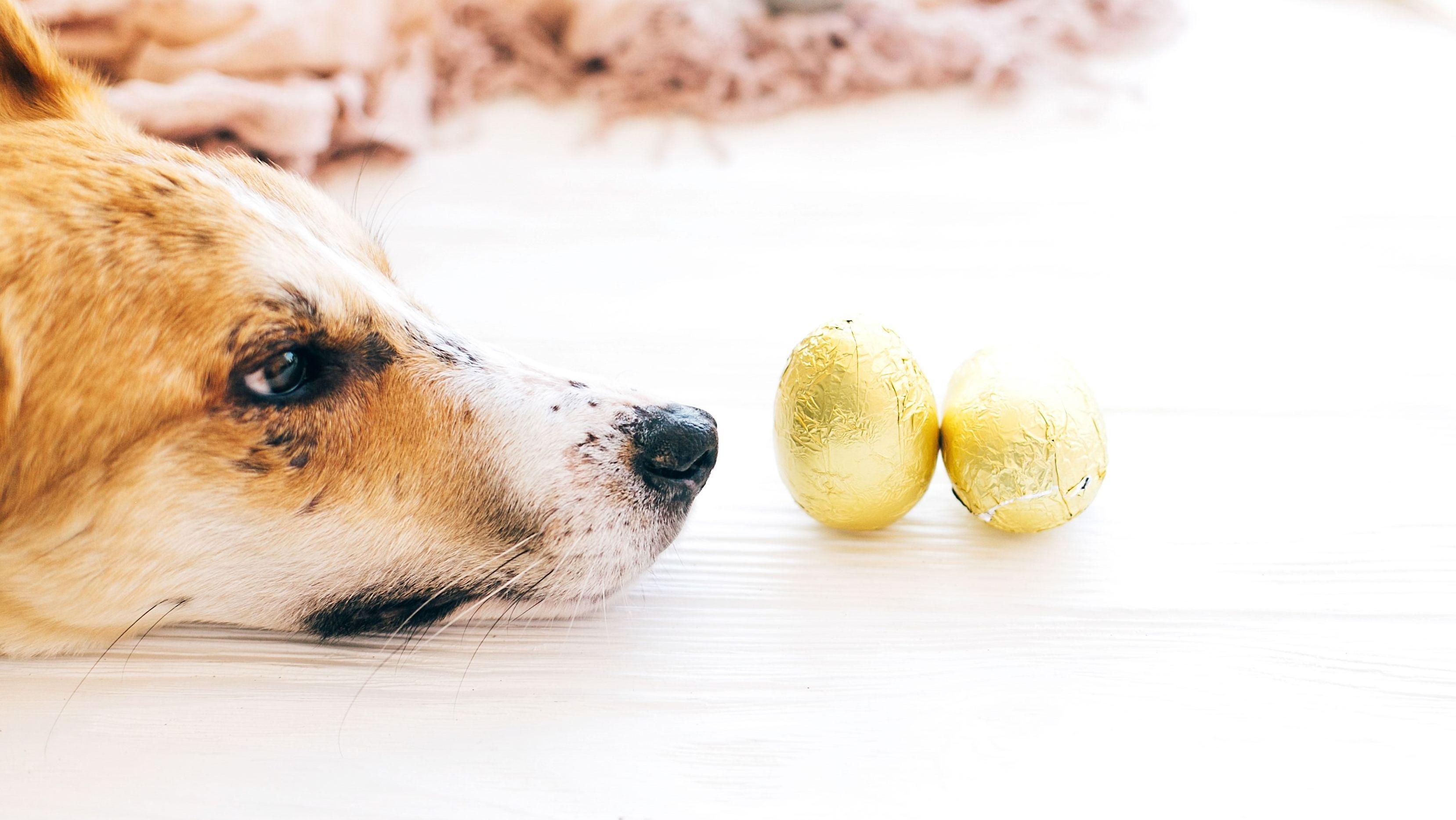 Hund schaut sehnsüchtig Schokoostereier an.