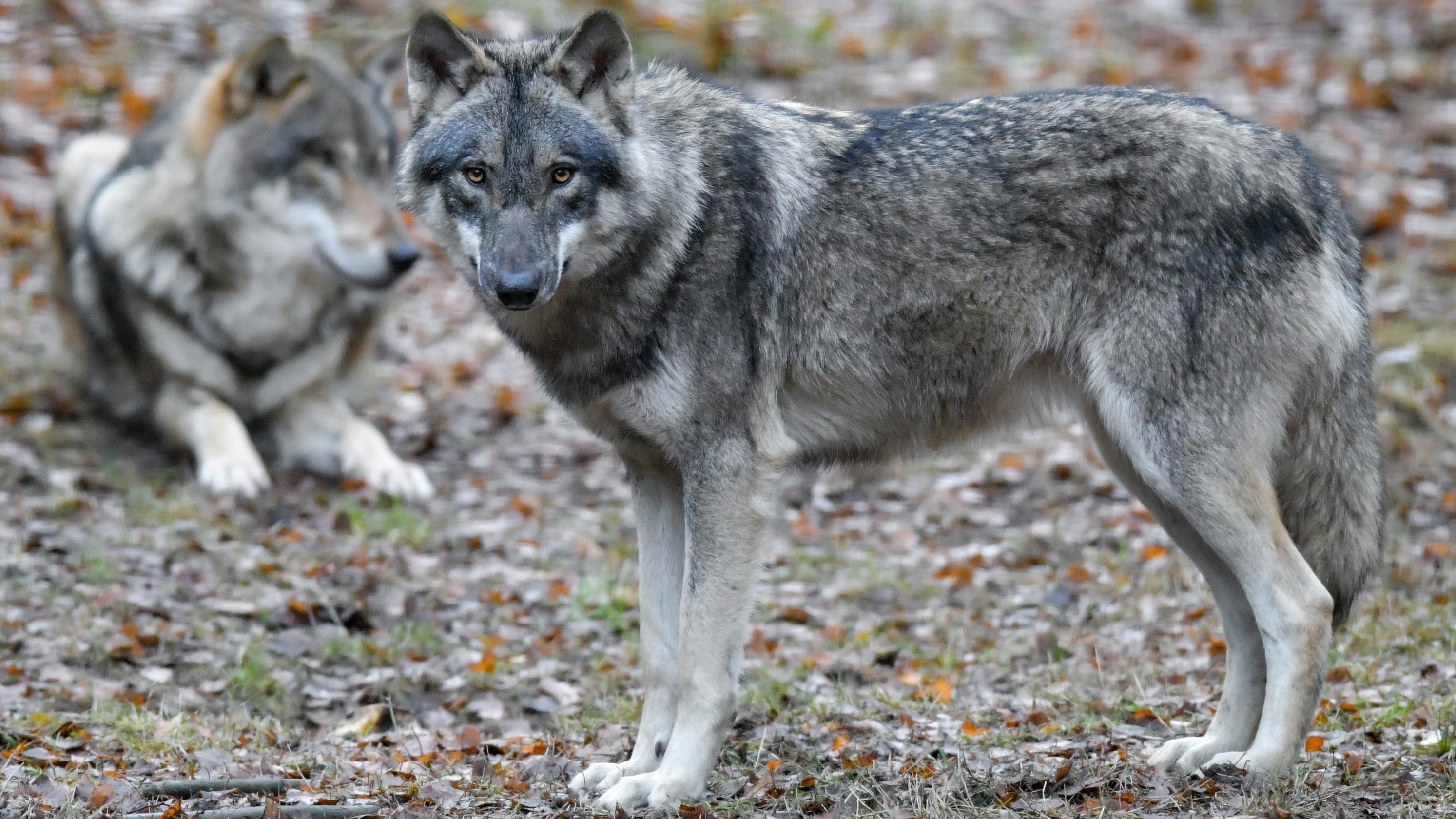 Ein stehender und ein liegender Wolf.