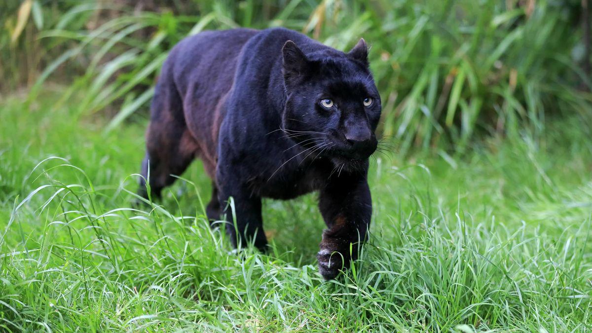 Schwarzer Panther (Symbolbild)