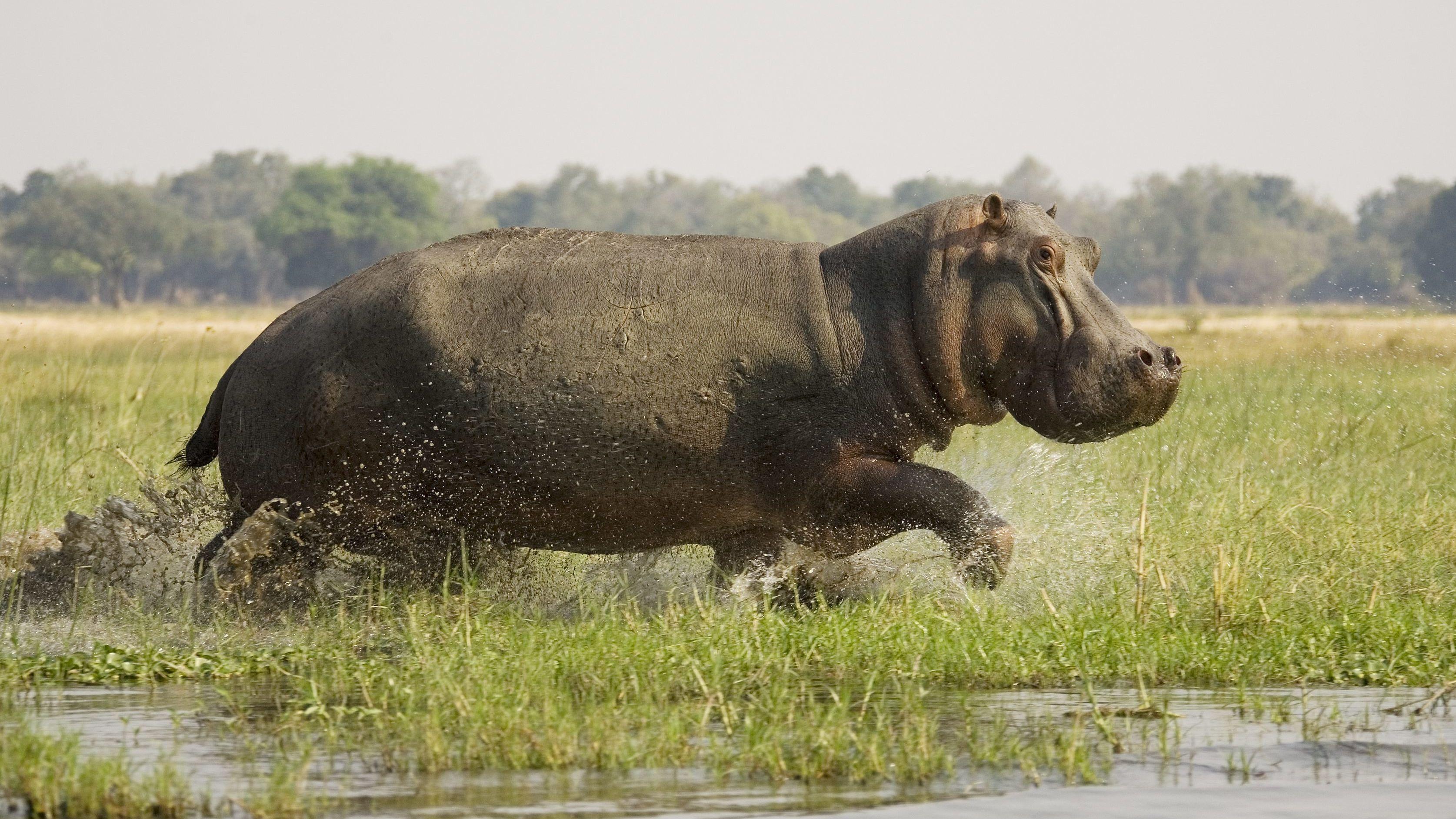 Aufgeschreckter Bulle rennt durch seichtes Wasser.