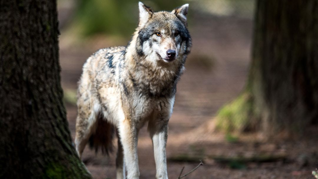 Ein Wolf steht in einem Wildpark in seinem Gehege.