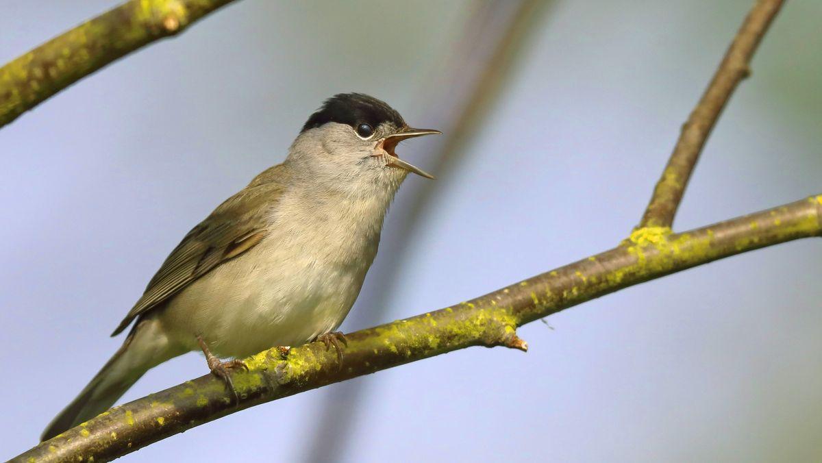 Singende Mönchsgrasmücke