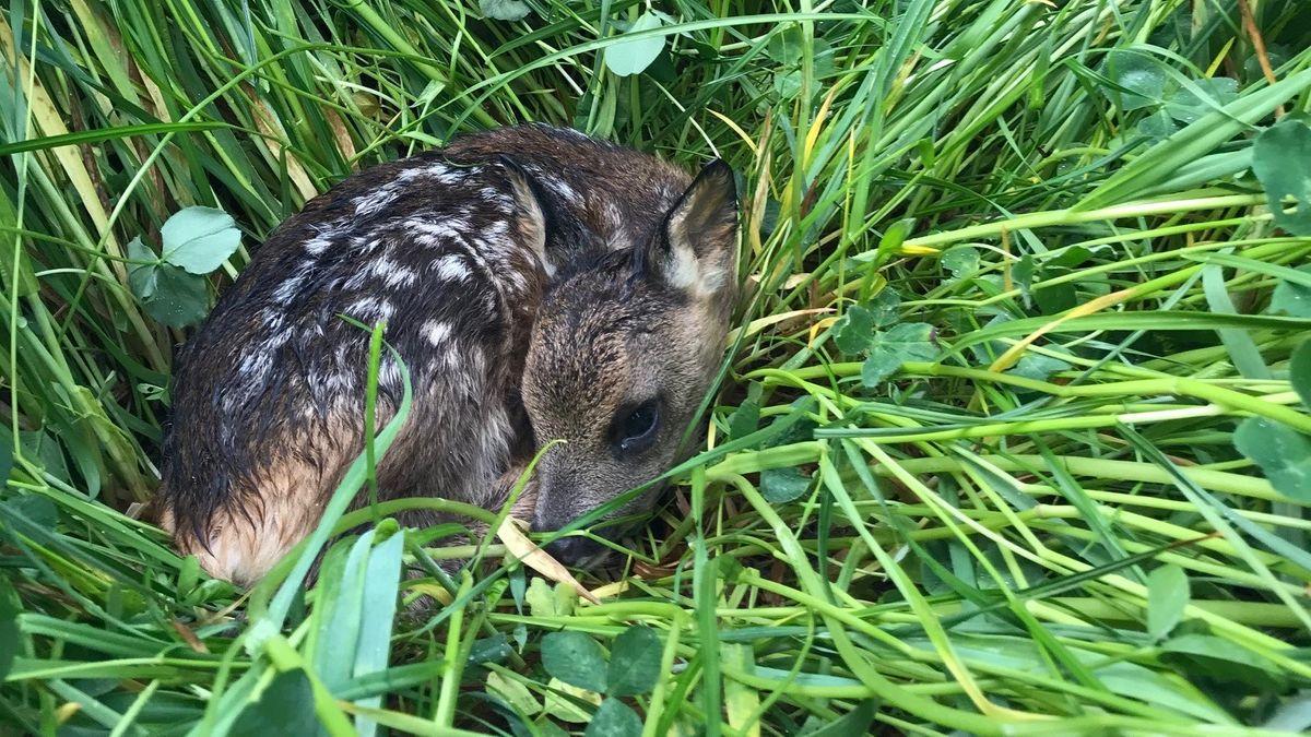 Rehkitze verstecken sich im hohen Gras vor Fressfeinden